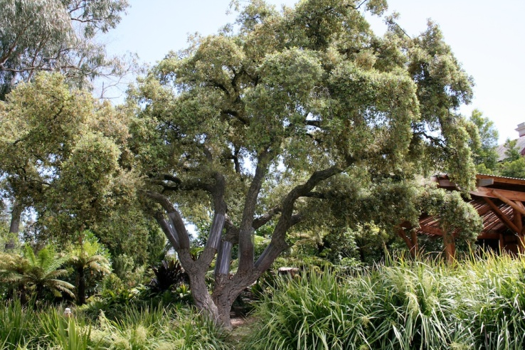 Cork oak, Quercus suber