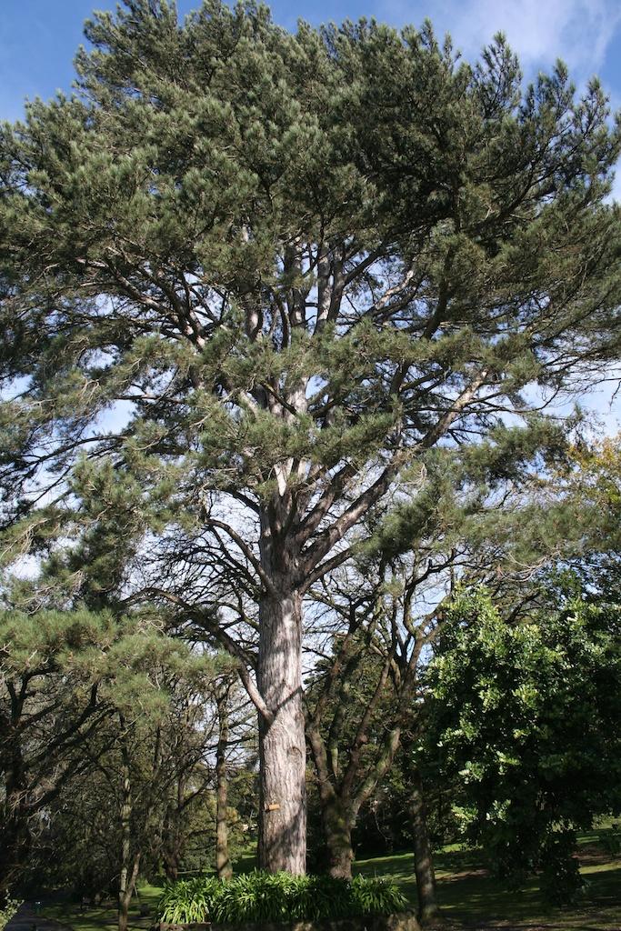 Corsican pine Botanic Gardens Hamilton
